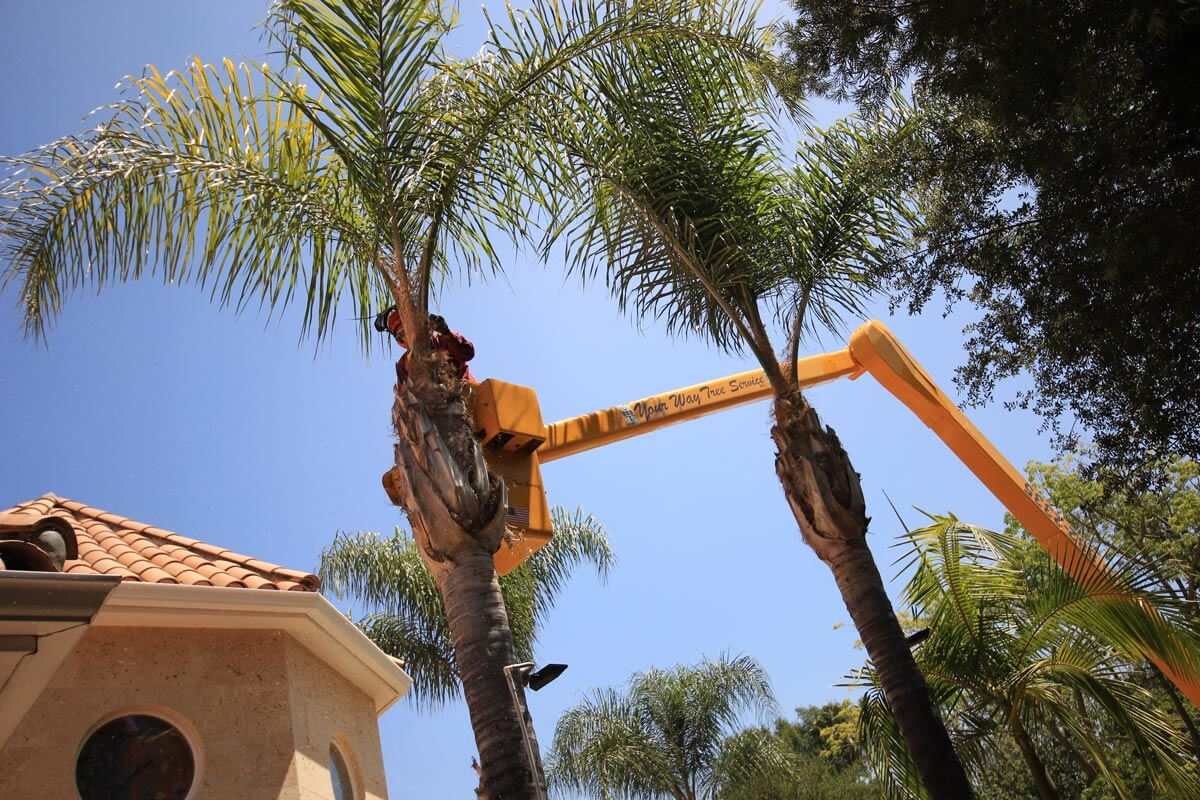 Palm Tree Trimming-Del Mar CA Tree Trimming and Stump Grinding Services-We Offer Tree Trimming Services, Tree Removal, Tree Pruning, Tree Cutting, Residential and Commercial Tree Trimming Services, Storm Damage, Emergency Tree Removal, Land Clearing, Tree Companies, Tree Care Service, Stump Grinding, and we're the Best Tree Trimming Company Near You Guaranteed!